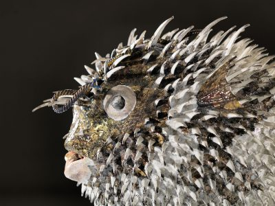 Isaia Zilli - Blowfish